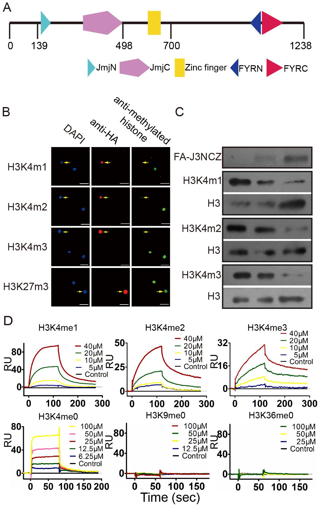 JMJ703 is a histone H3K4 demethylase.