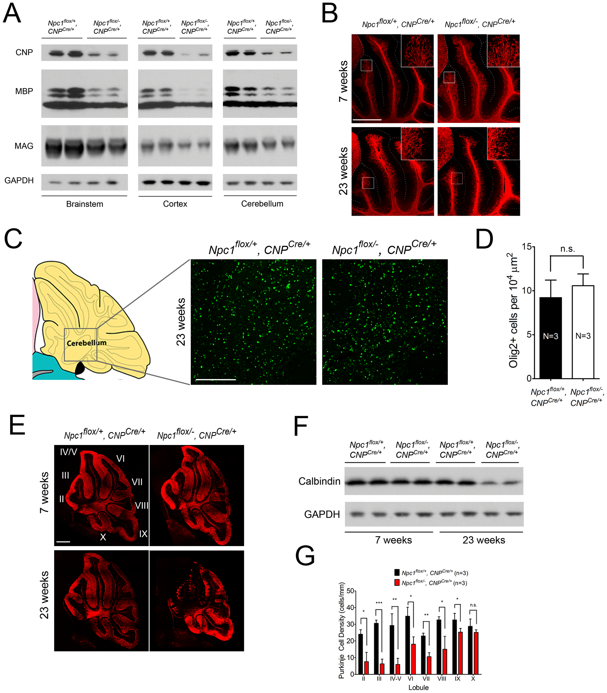 Loss of myelin proteins and Purkinje cell degeneration in aged oligodendrocyte-specific null mutants.