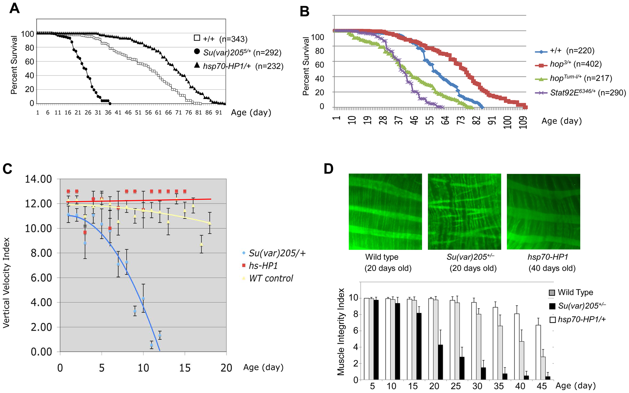 Heterochromatin levels are important for longevity and muscle integrity.