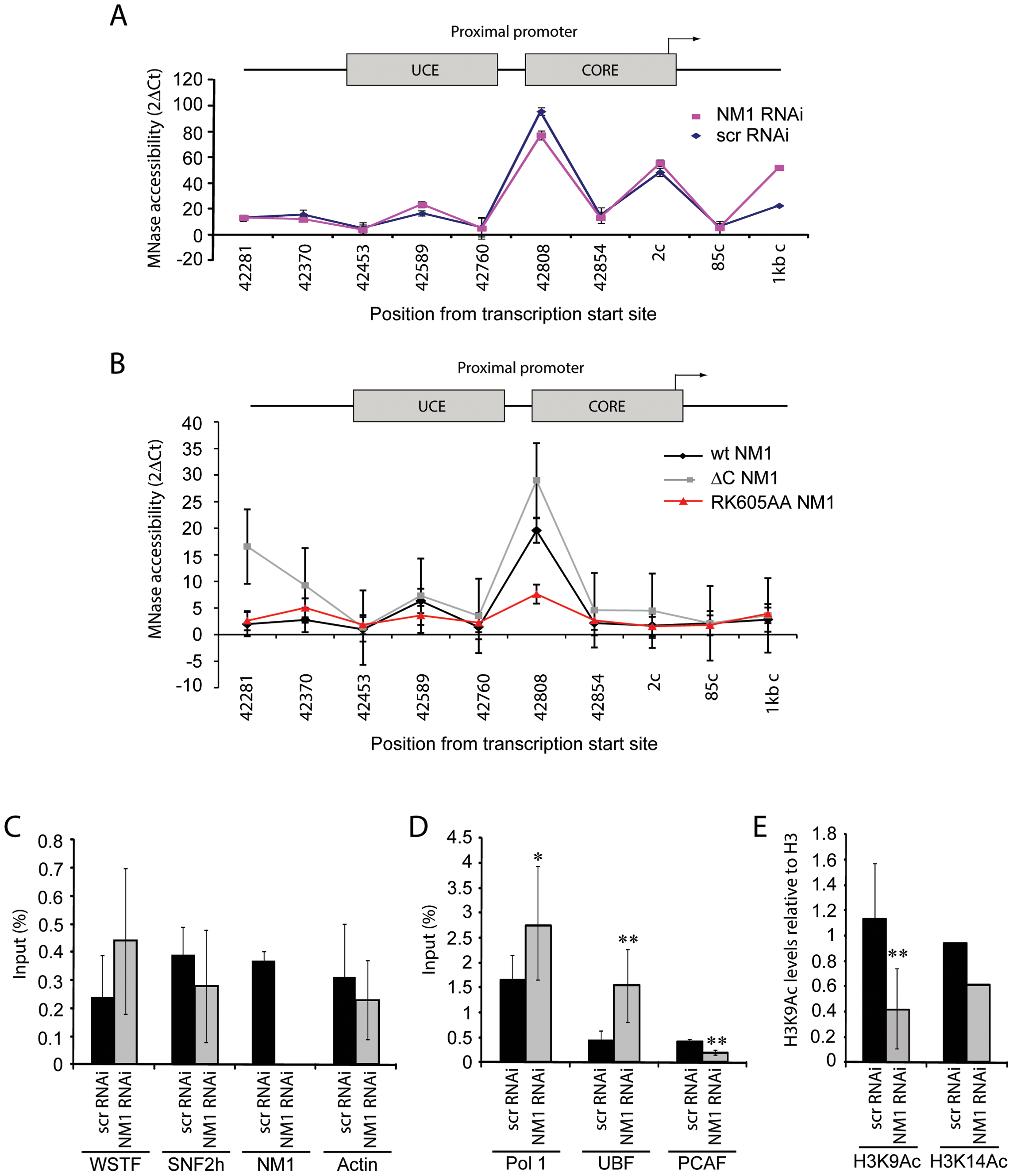 NM1 controls the levels of H3K9 acetylation for the activation of pol I transcription.