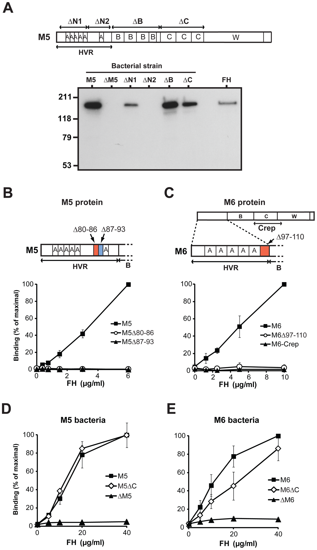 Human FH binds to the HVR of the M5 and M6 proteins.