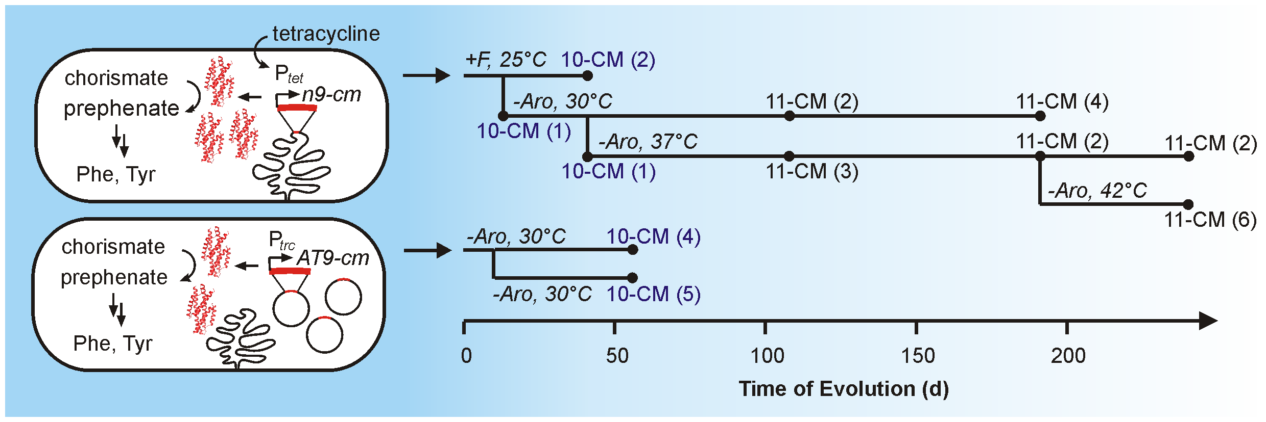 Schematic illustration of the CM evolution experiment.