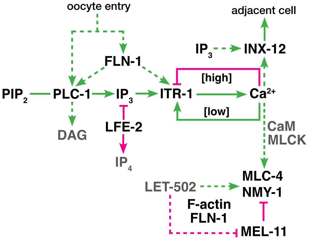 Proposed genetic control of calcium signaling in the spermatheca.