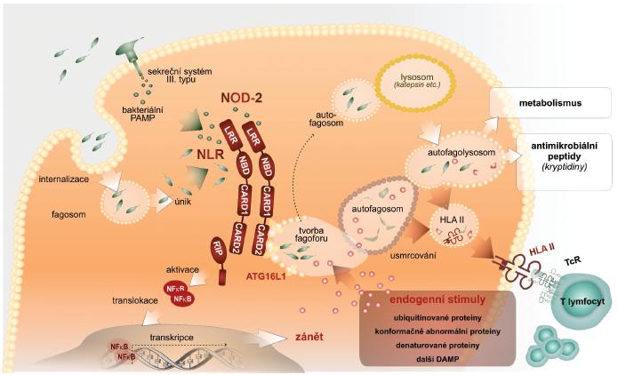 Autofagie – nitrobuněčný mechanismus