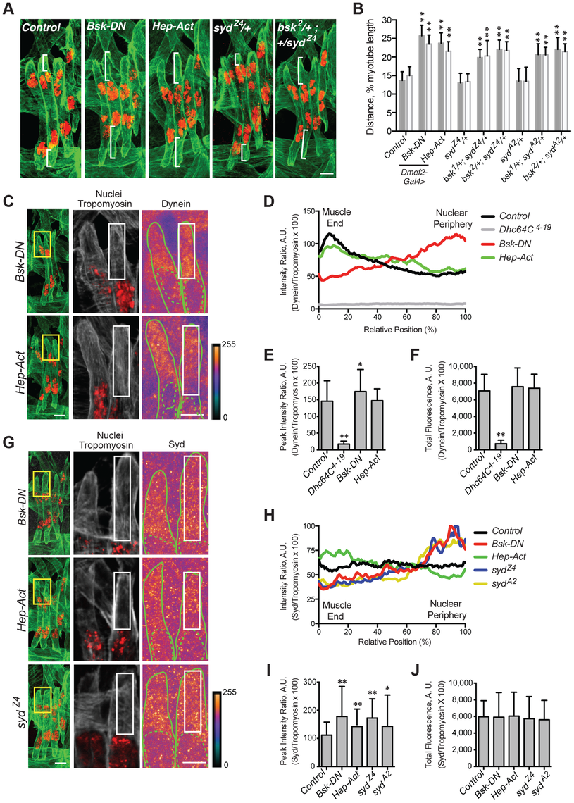 JNK signaling is required for Syd-mediated myonuclear positioning.