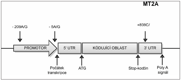 Umístění polymorfizmů v genu MT2A. SNP -5A/G označuje polymorfní místo v promotorové oblasti genu MT2A, které zahrnuje bázi nacházející se 5 nukleotidů před počátkem transkripce. SNP -209A/G označuje polymorfní místo v promotorové oblasti genu MT2A, které zahrnuje bázi nacházející se 209 nukleotidů před počátkem transkripce. SNP +838 C/G označuje polymorfní místo v 3' nepřekládané oblasti, které se nachází v místě vzdáleném 838 nukleotidů od začátku transkripce.