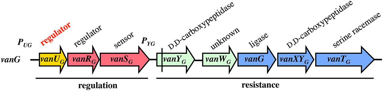 Schematic representation of the <i>vanG</i> operon.