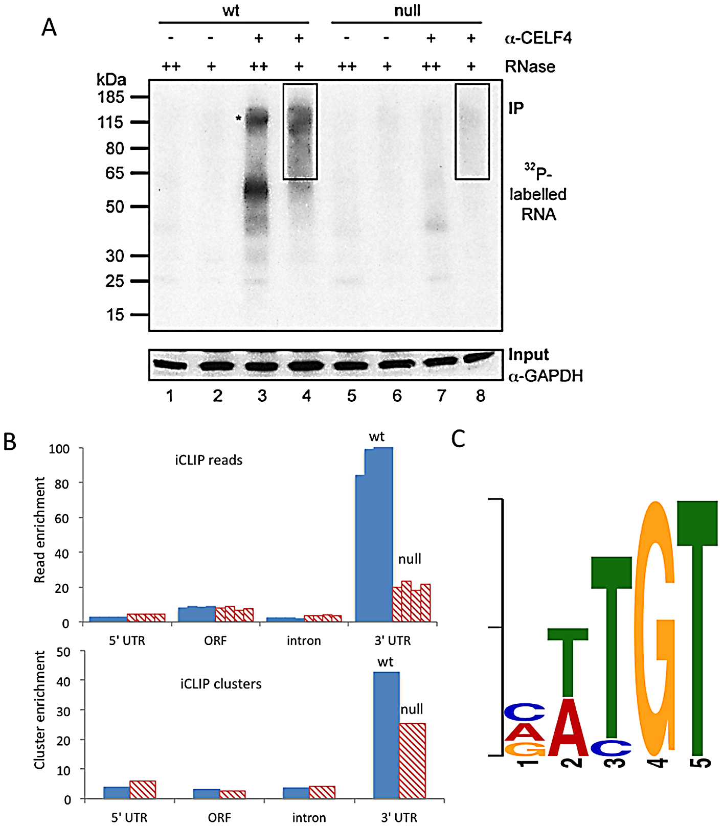 CELF4 binds mRNAs mostly in the 3′ UTR and favors an (A/U)UGU binding motif.