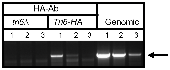 Tri6 binds to its cognate promoter <i>in vivo</i>.