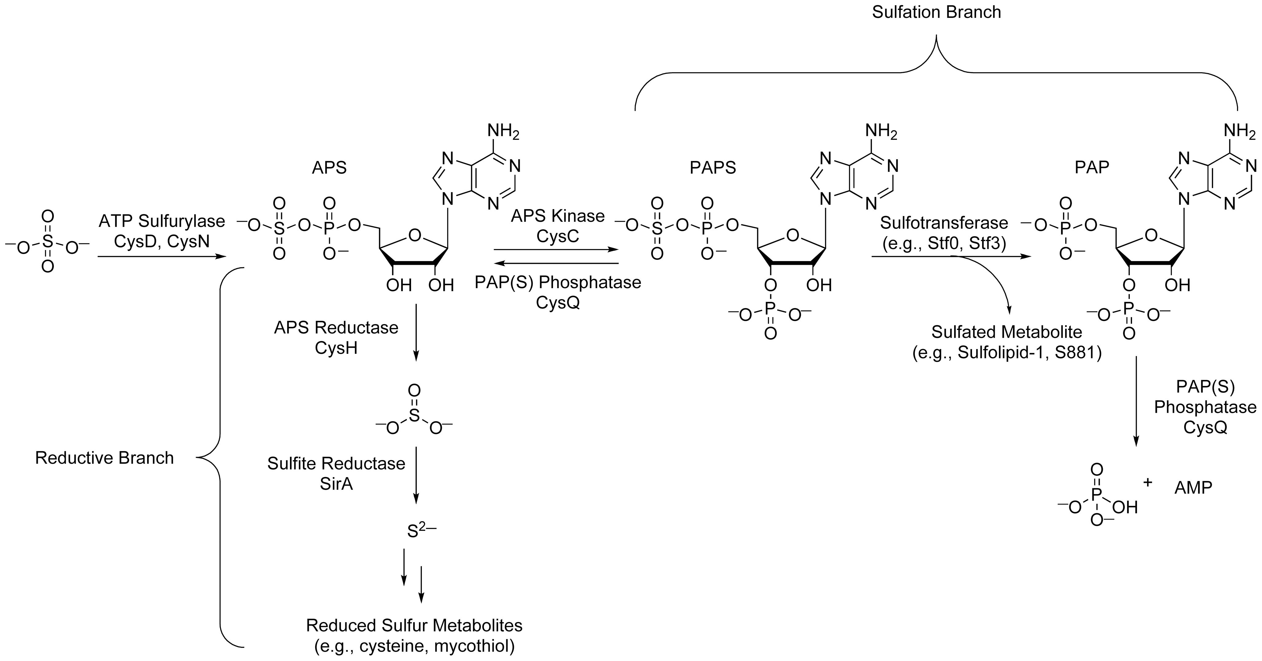 The sulfate assimilation pathway of <i>Mtb</i>.