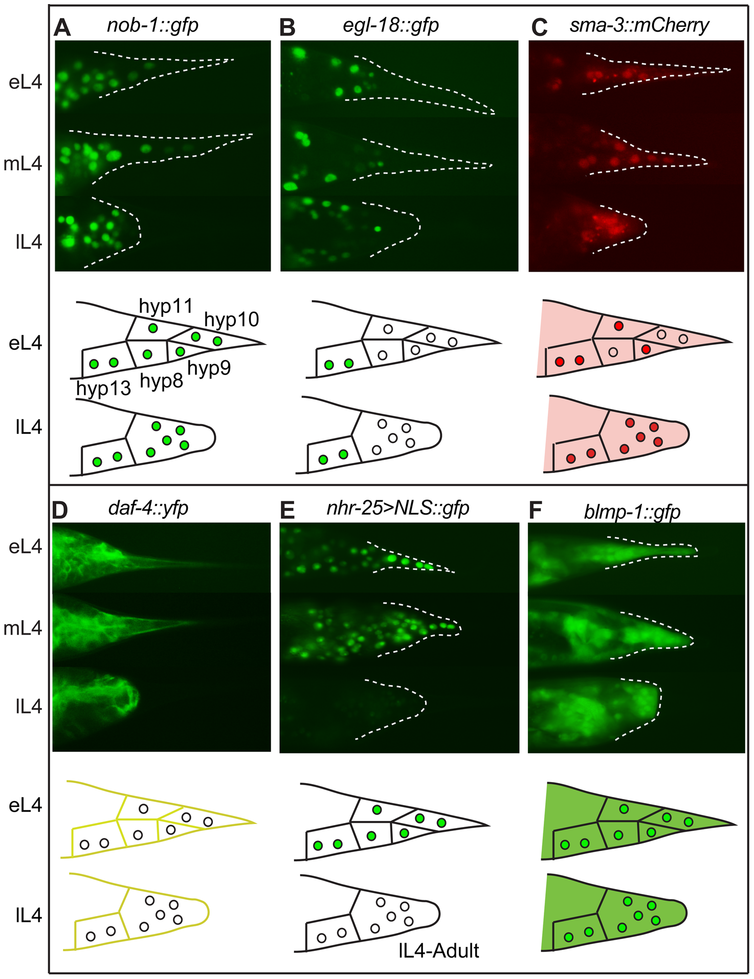 Expression patterns of sample regulatory genes identified in the RNAi screen.