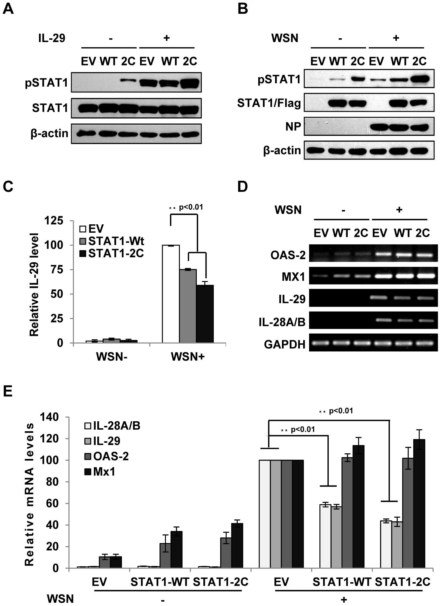 Forced activation of STAT1 causes a significant decrease in IFN-λ expression during IAV infection.