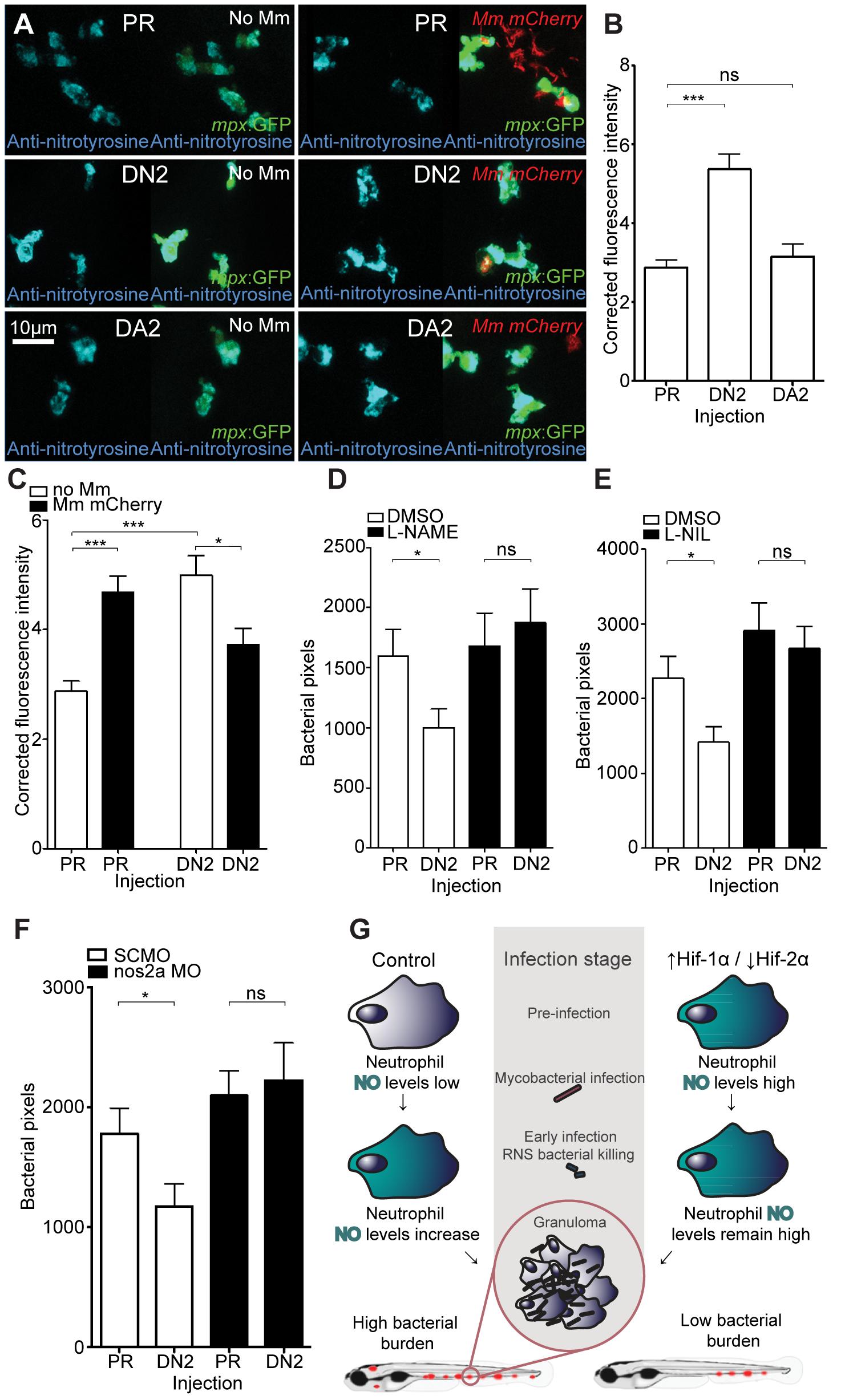 Dominant negative Hif-2α decreases bacterial burden via an iNOS dependent mechanism.