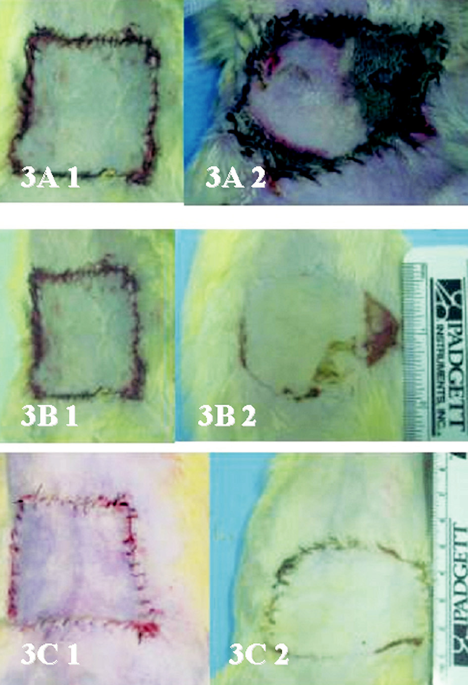 Fig. 3. Representative samples of the flaps from all three animal groups (A: control group, B: group B, C: group C) immediately after insetting (1) and 48 hours later (2).