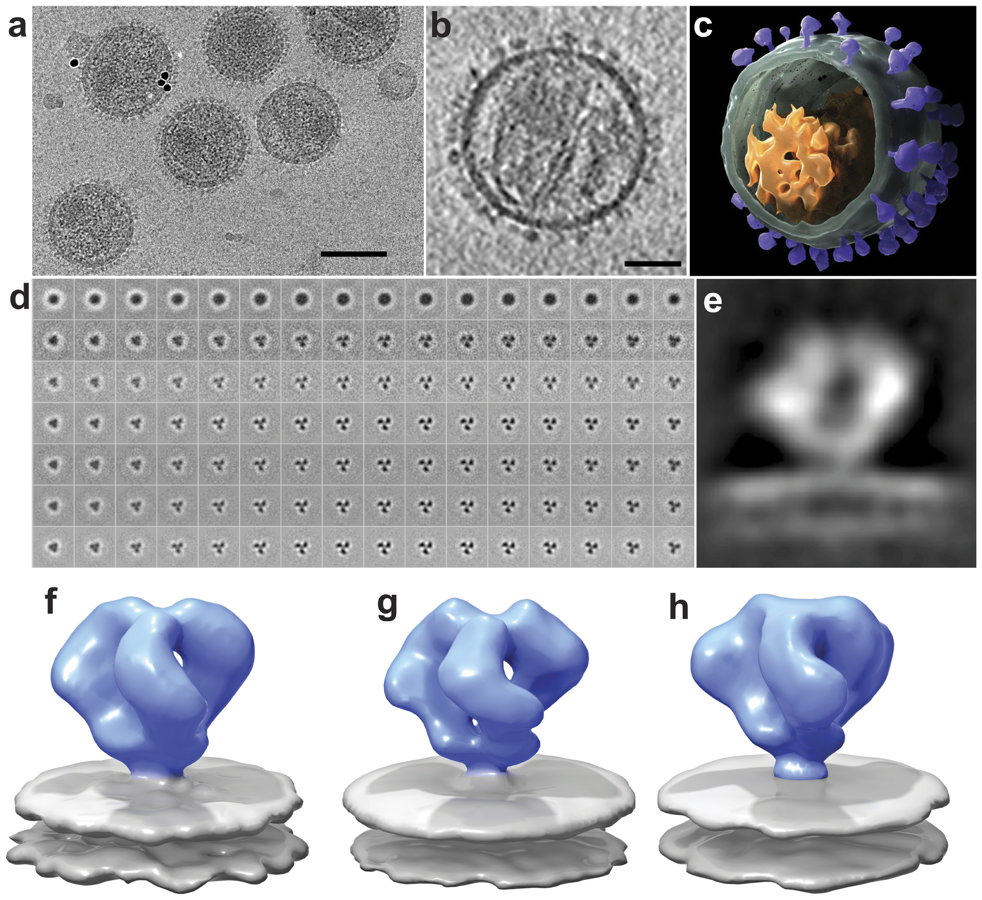 Cryo-electron tomography and molecular architecture of trimeric SIV Env.