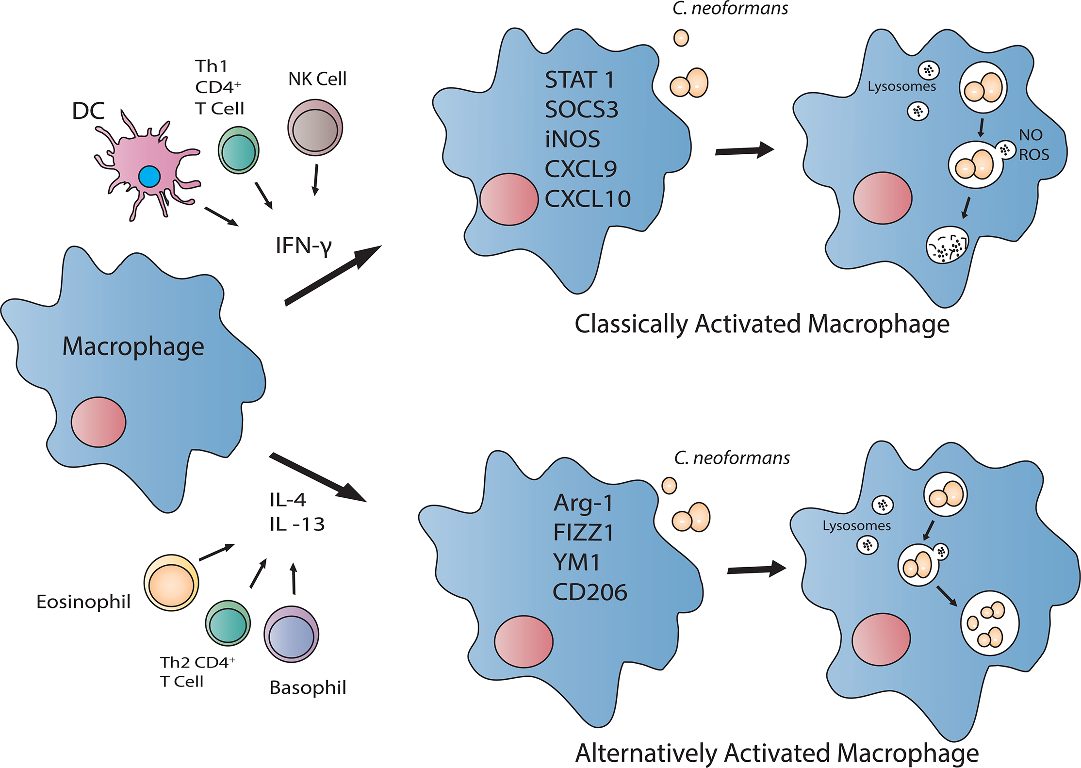 The activation status of the macrophage directly influences cryptococcal killing.