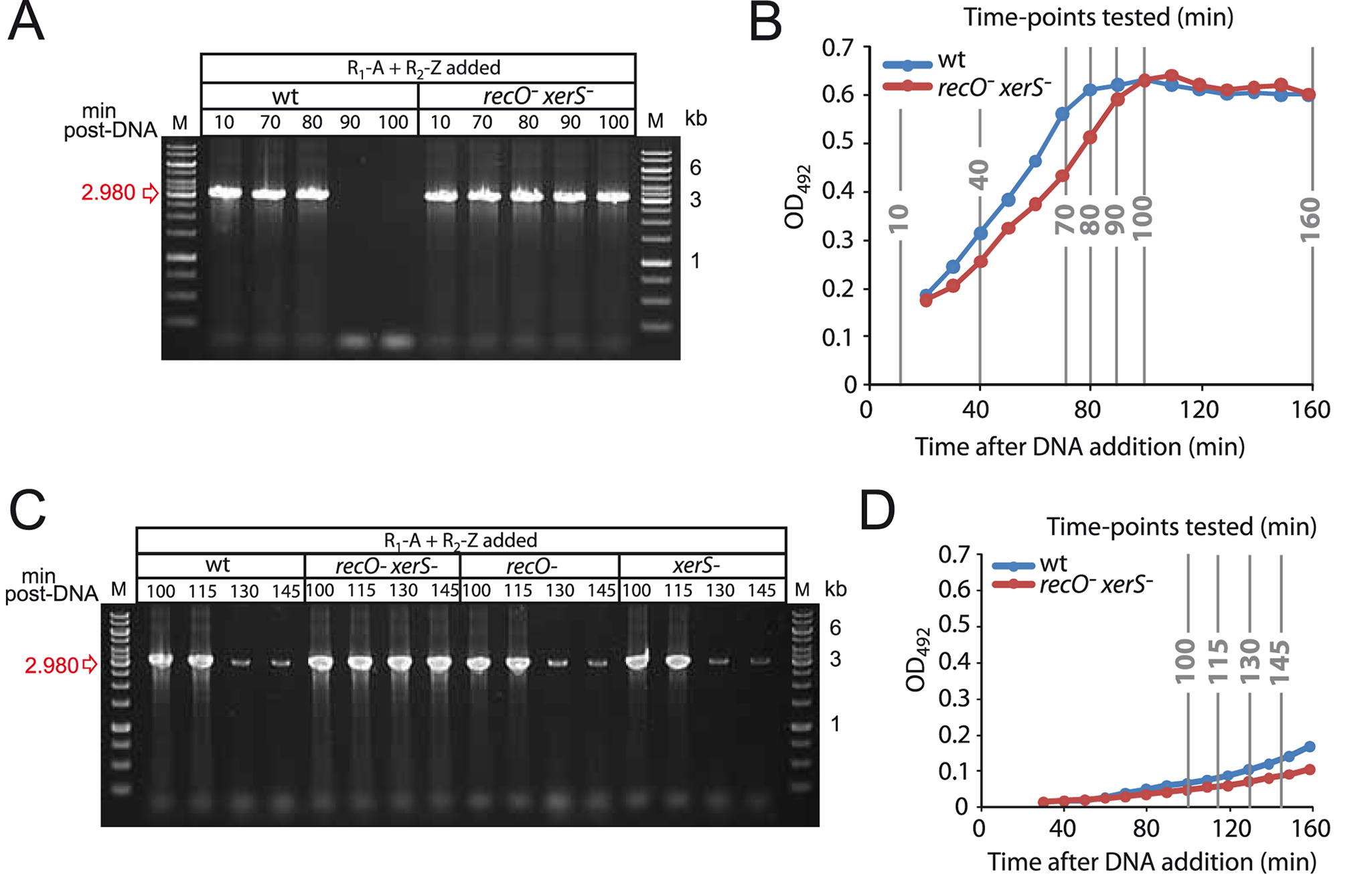 Growth phase impacts the kinetics of deletion-junction loss in transformed cultures.