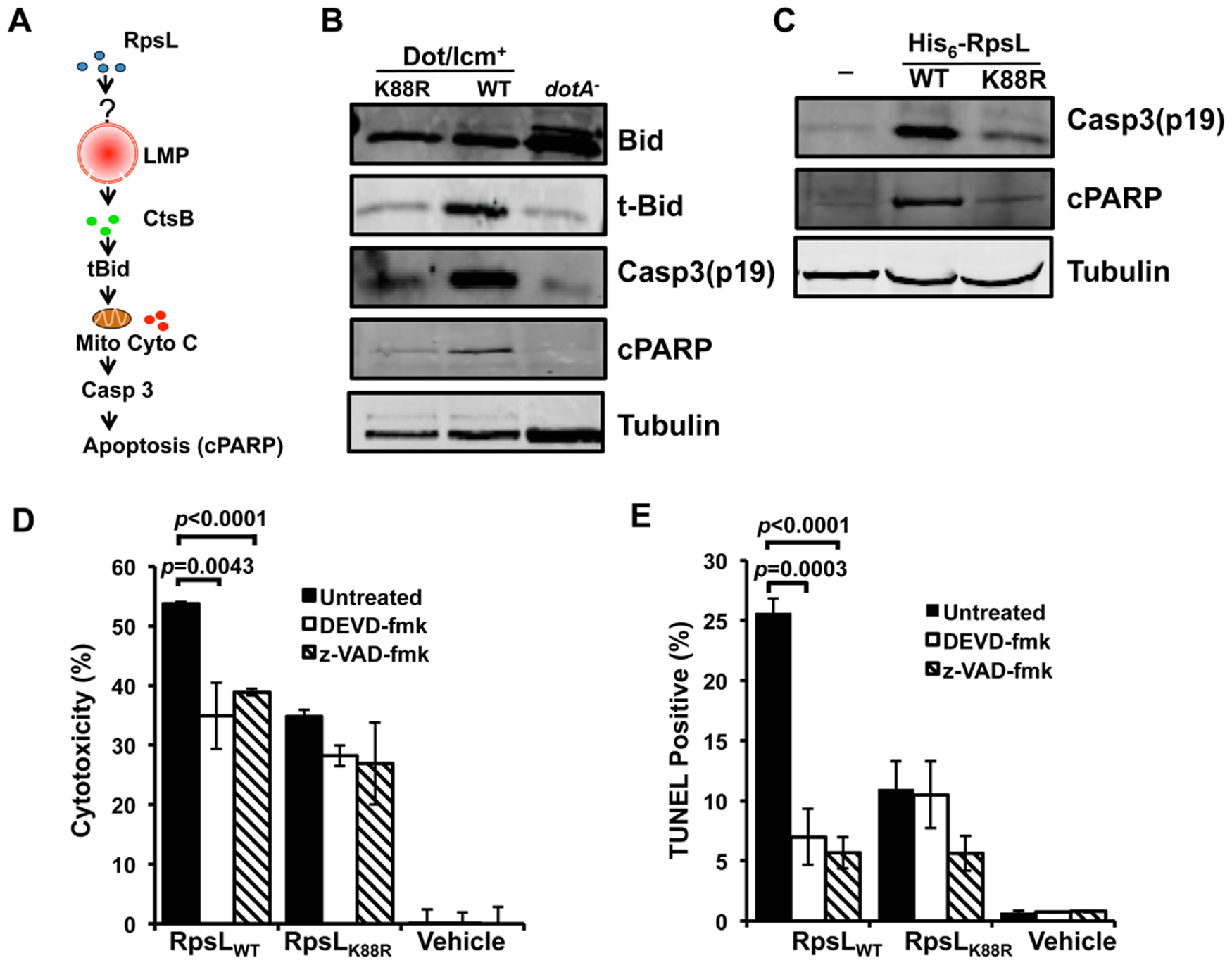 The classic apoptosis pathway is involved in the cell death induced by RpsL.