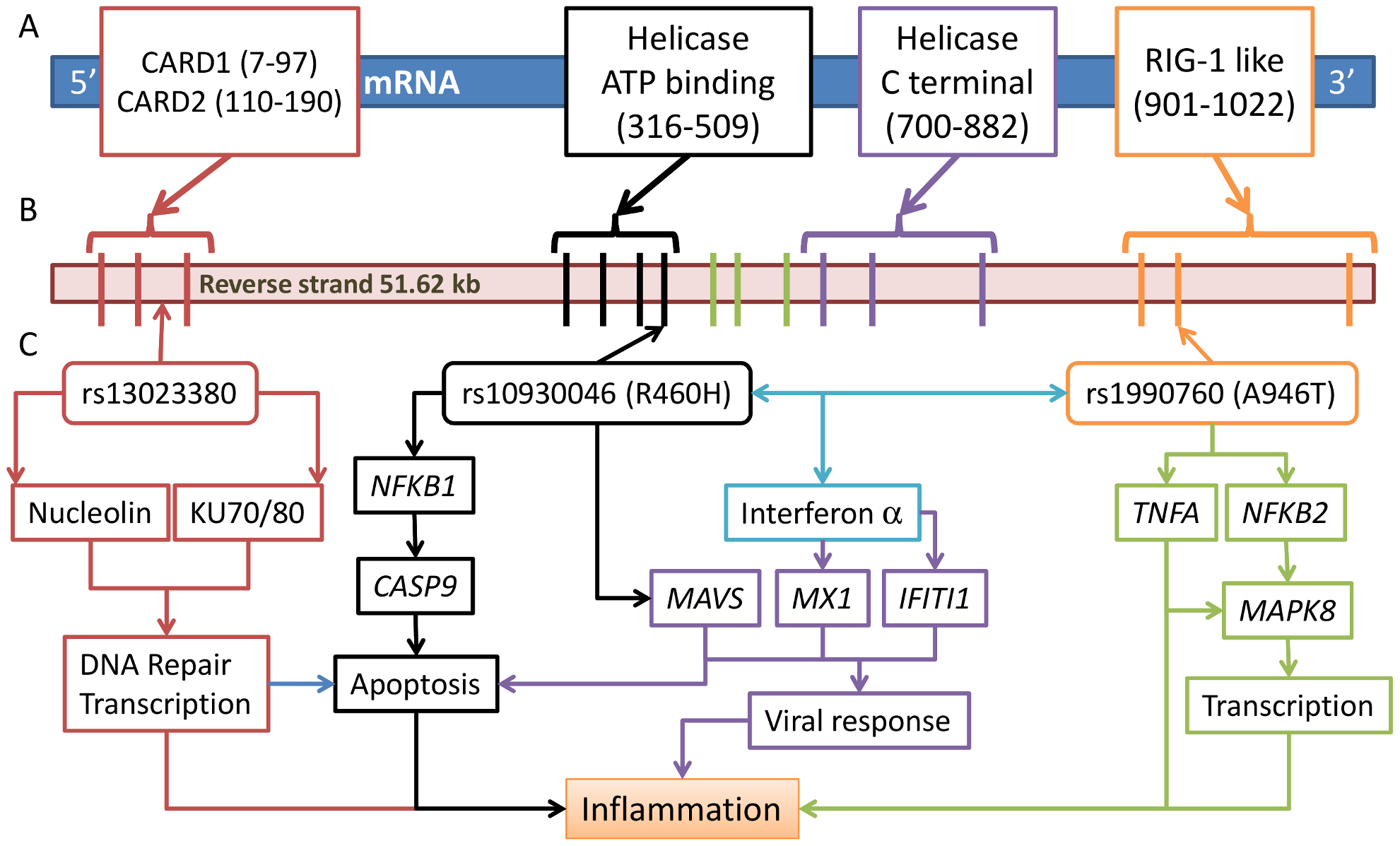 Three risk variants of <i>IFIH1</i> and the proposed functional model.