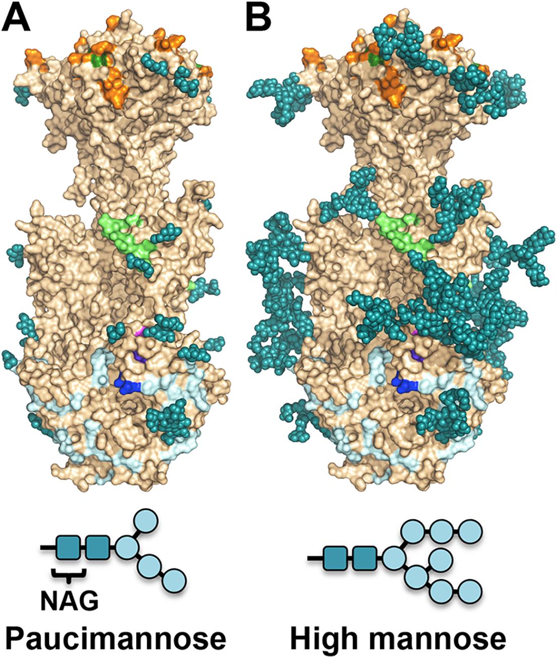 Observed glycosylation and fully-glycosylated model of HCMV gB.