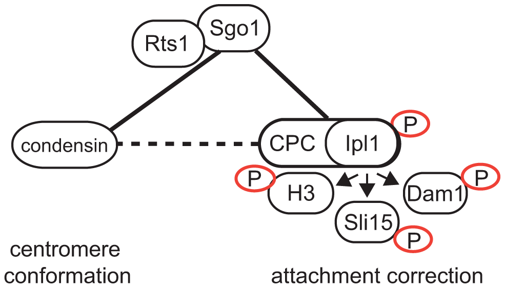 Model of Sgo1 function during establishment of biorientation.
