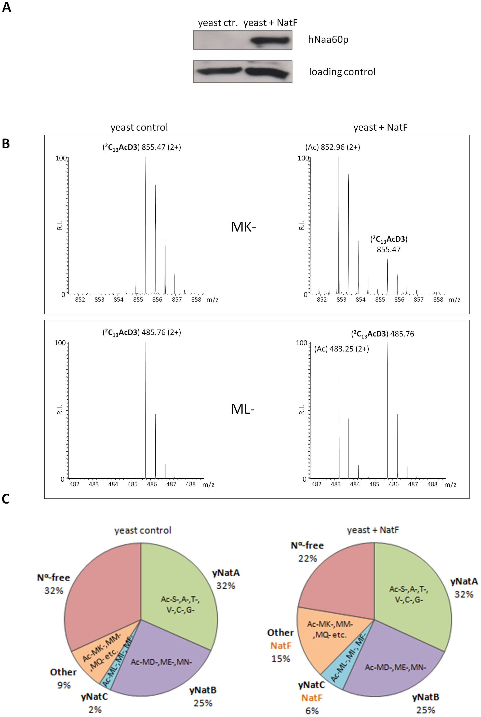 NatF expression shifts the overall status of the yeast N-terminal acetylome.