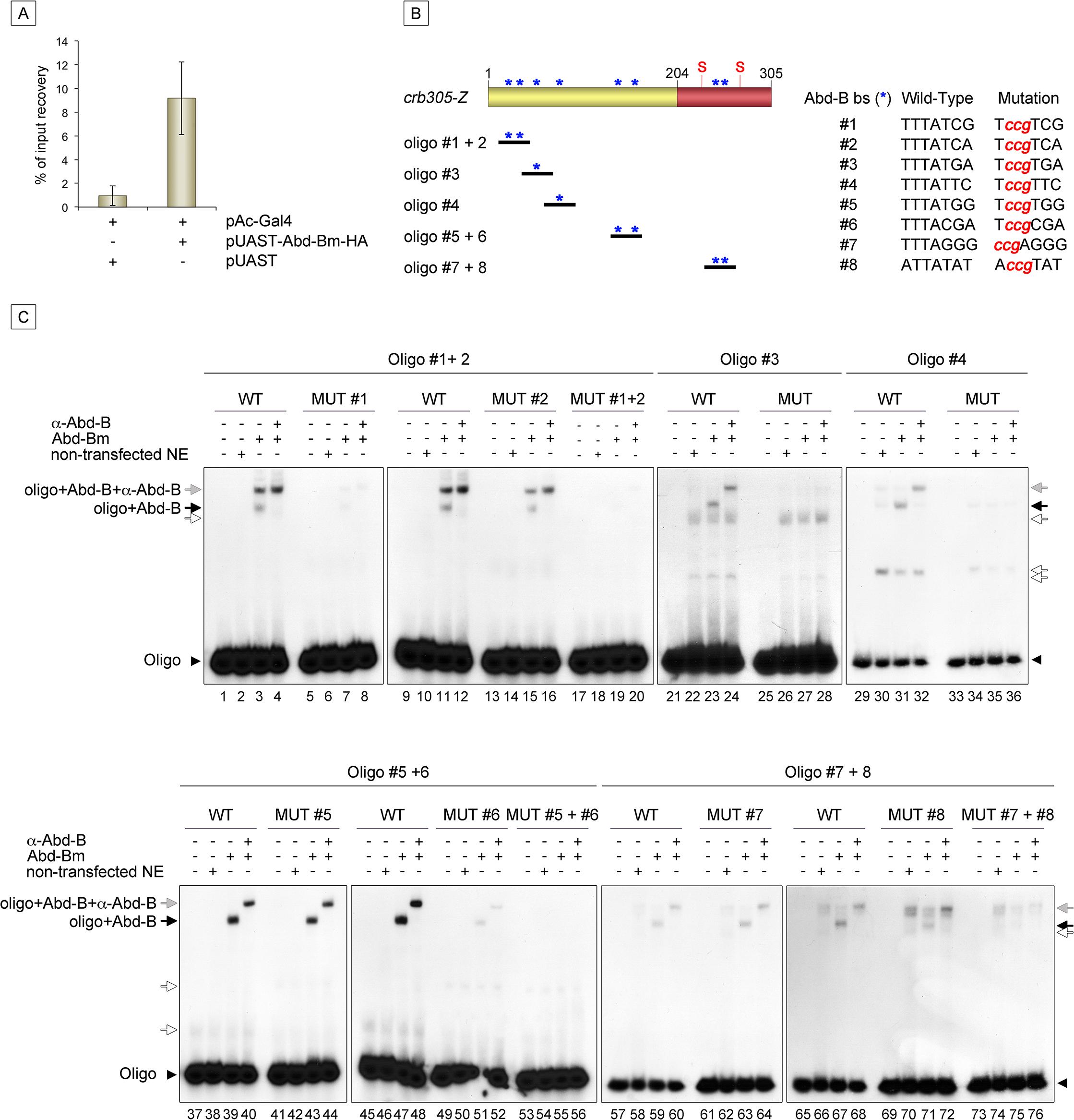 Abd-Bm binds multiple sites in <i>crb305</i> posterior spiracle enhancer.