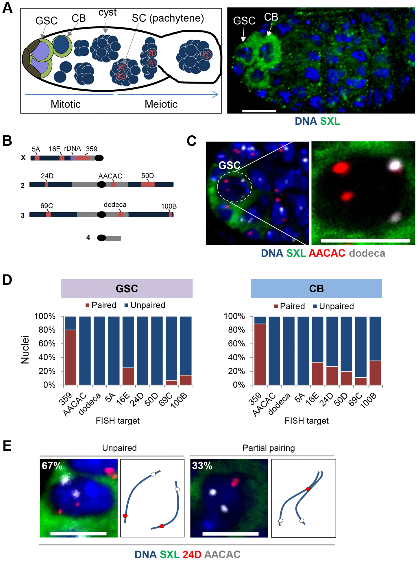 Homologous chromosomes enter the germline unpaired.