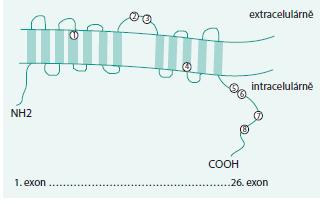 SLC12A3 transmembránový protein se zobrazenými nalezenými missense mutacemi