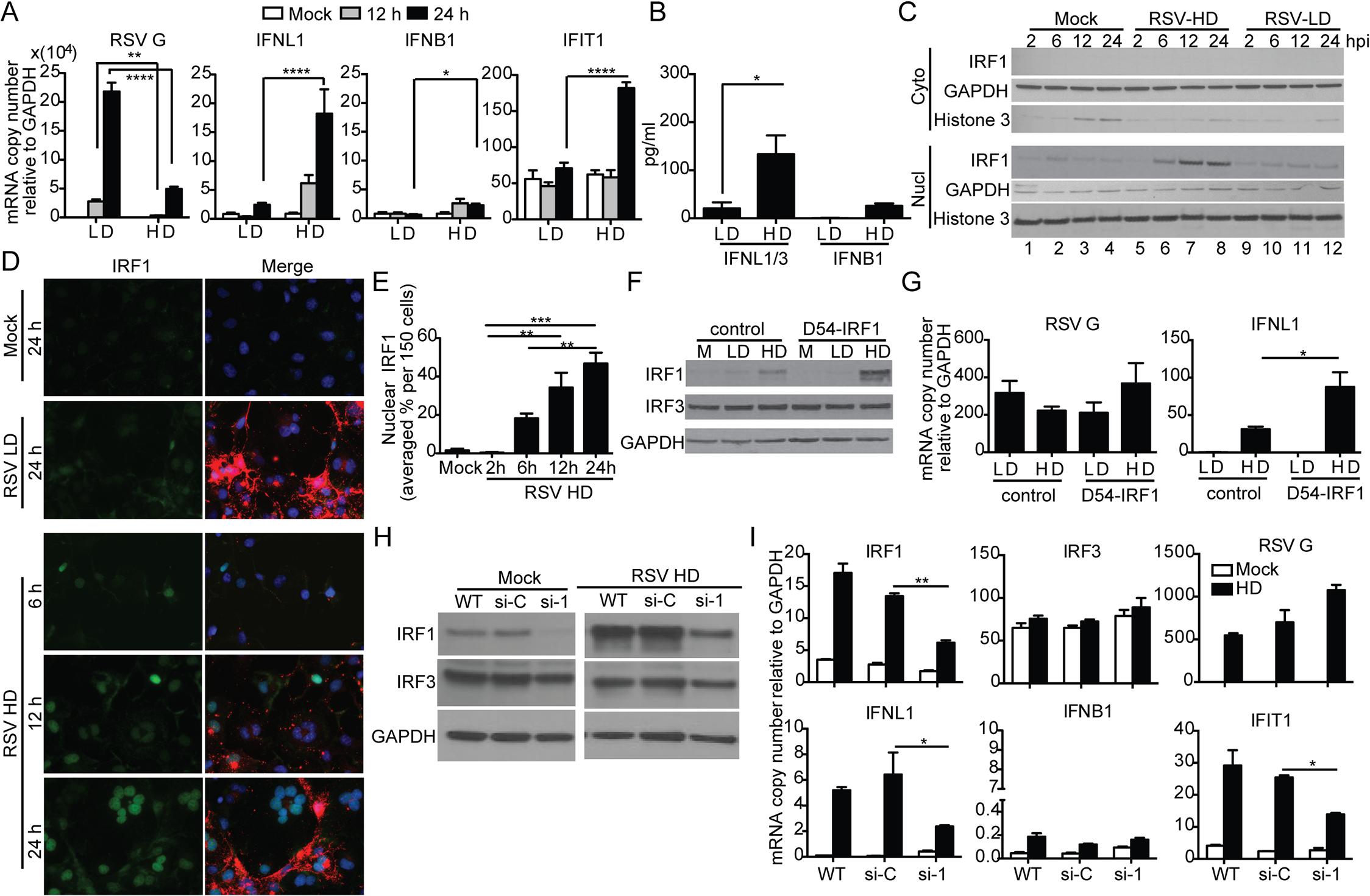RSV iDVGs stimulate an IRF1/IFNL1-mediated antiviral response.
