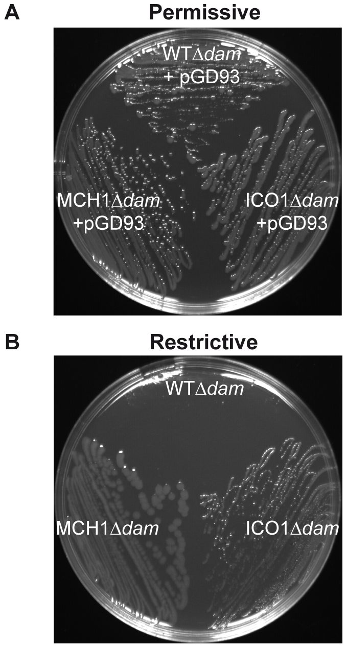 Dam is only essential for replication initiation of chrII from <i>oriII</i>.