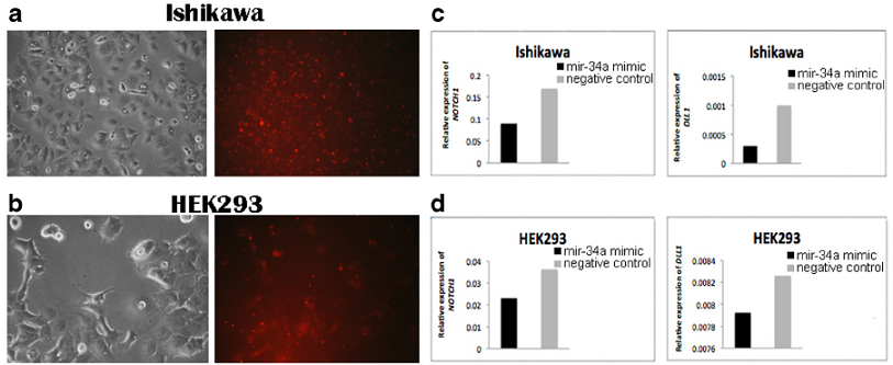 Detection of <m>NOTCH1</m> and <m>DLL1</m> expression in transfected Ishikawa and HEK293 cell lines. BLOCK-iT Alexa Fluor red fluorescent and mir-34a mimic transfection in (<b>a</b>) Ishikawa cells and (<b>b</b>) HEK293 cells. The photos were taken 24 h after transfection corresponding to morphology of cells (left) and BLOCK-iT Alexa Fluor red fluorescent (right). <b>c</b> The level of <m>NOTCH1</m> and <m>DLL1</m> expression in Ishikawa cells 48 h after transfection with mir-34a mimic compared with the negative control. <b>d</b> The level of <m>NOTCH1</m> and <m>DLL1</m> expression in HEK293 cells 48 h after transfection with mir-34a mimic compared with the negative control