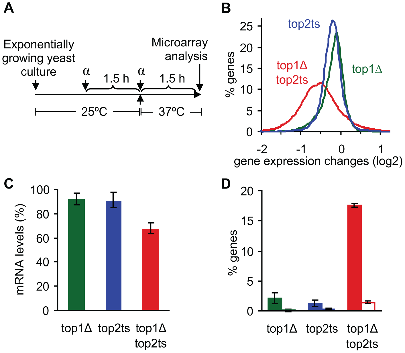 Global reduction in mRNA levels occurs due to lack of topoisomerases I and II.