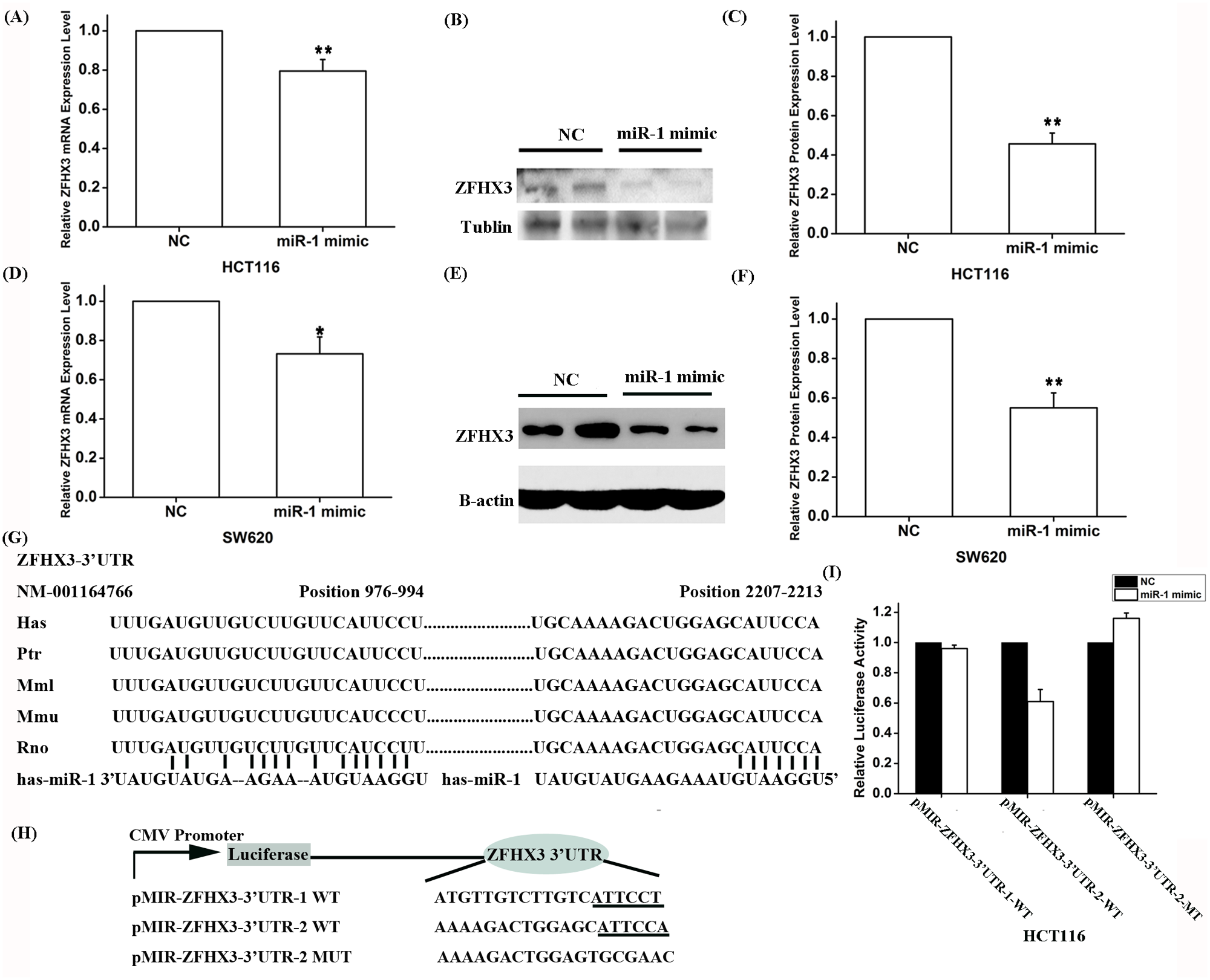 Expression of <i>ZFHX3</i> is negatively regulated by <i>miR-1</i>.