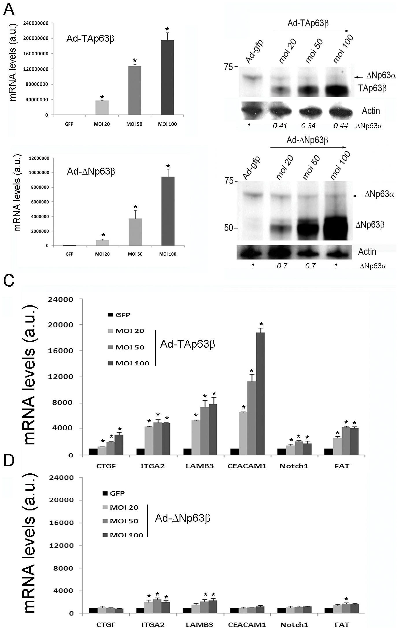 The adhesion genes are activated by TAp63β but not by ΔNp63β in Caski cells.