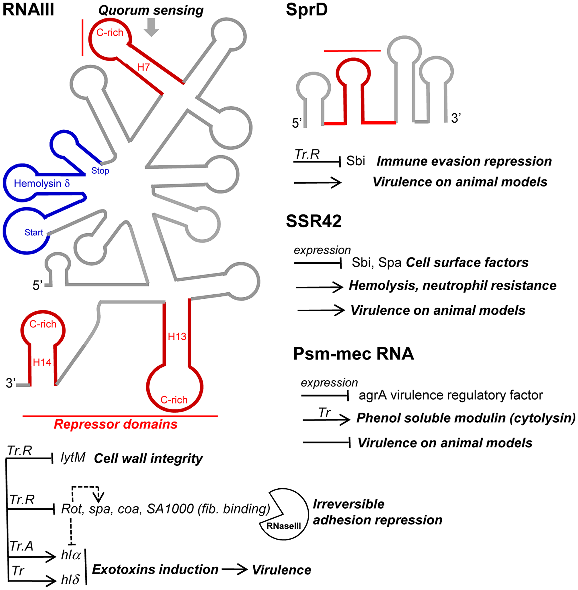 sRNAs from the <i>S. aureus</i> RNome implicated in bacterial virulence.