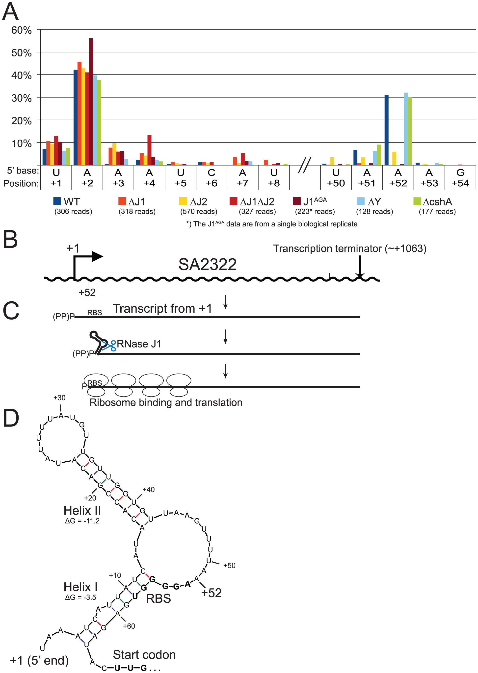 mRNA maturation by RNase J reveals a potential regulation of translation.
