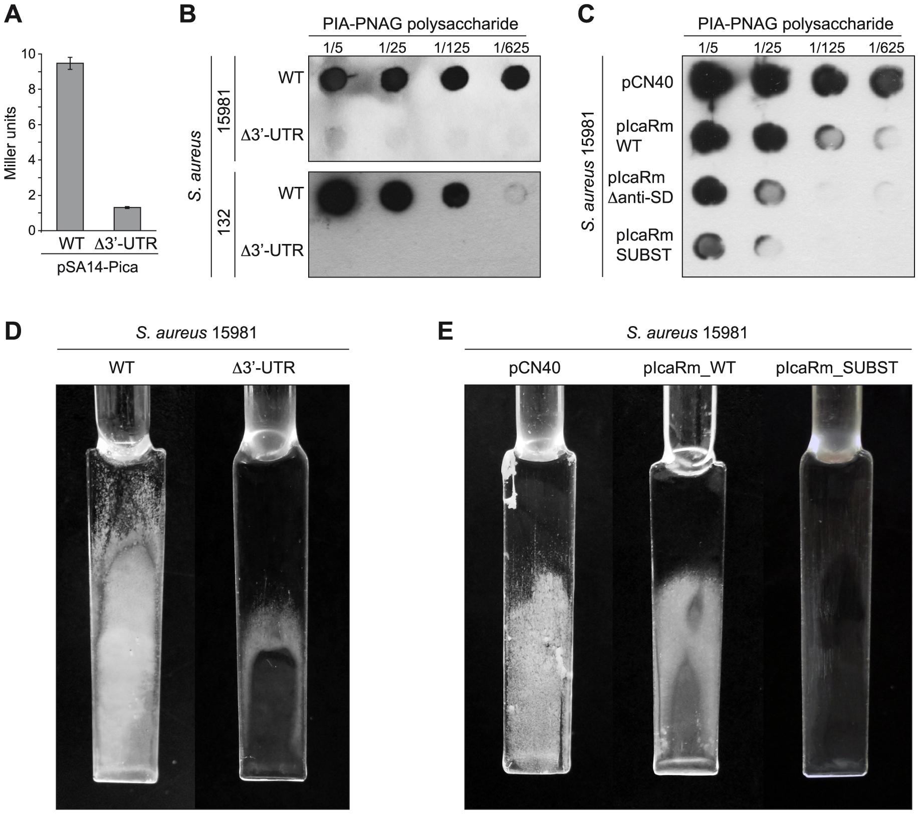 <i>In vivo</i> relevance of the interaction between the 3′-UTR and the Shine-Dalgarno region of <i>icaR</i> mRNA.