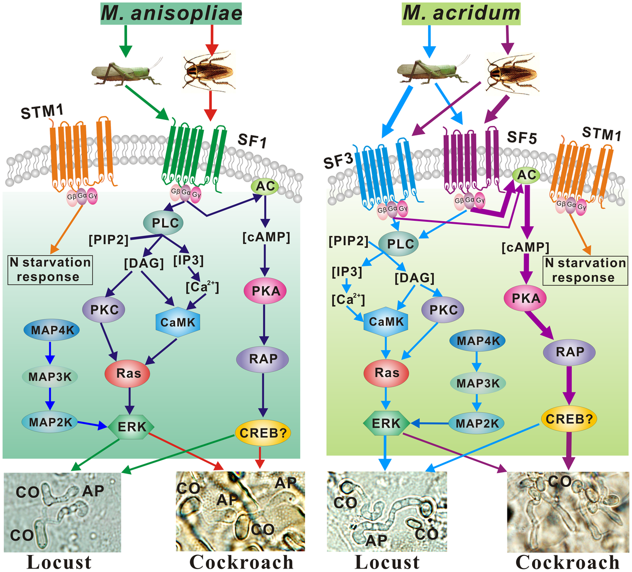 Differentially regulated signaling pathways employed by <i>M. anisopliae</i> and <i>M. acridum</i> infecting cockroach and locust cuticles.