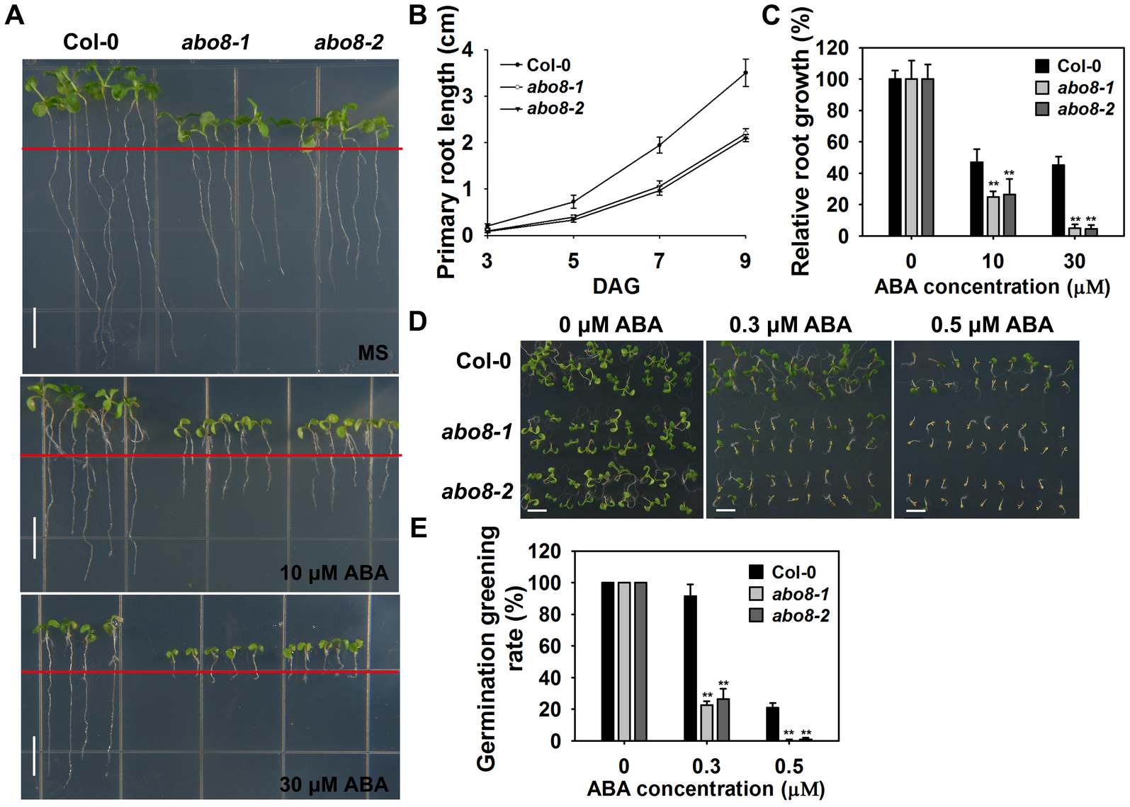 <i>abo8</i> mutants are hypersensitive to ABA in seed germination and root growth.