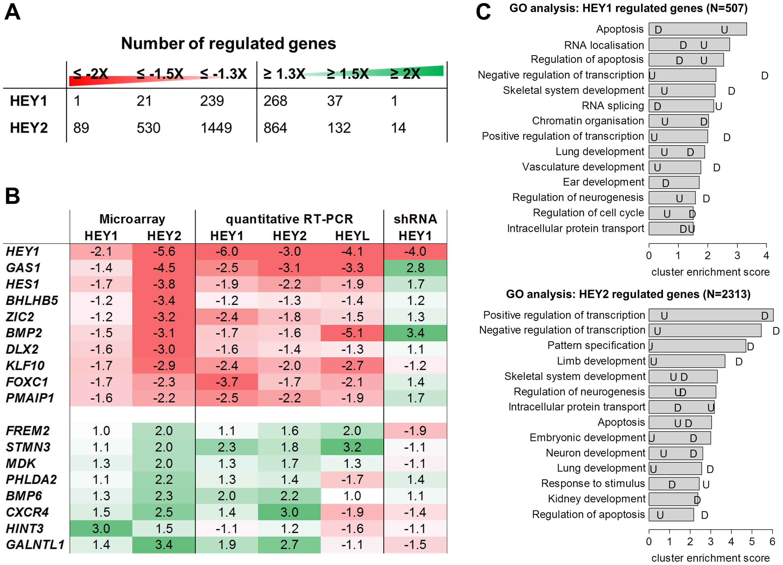 HEY target gene validation and gene ontology analysis.