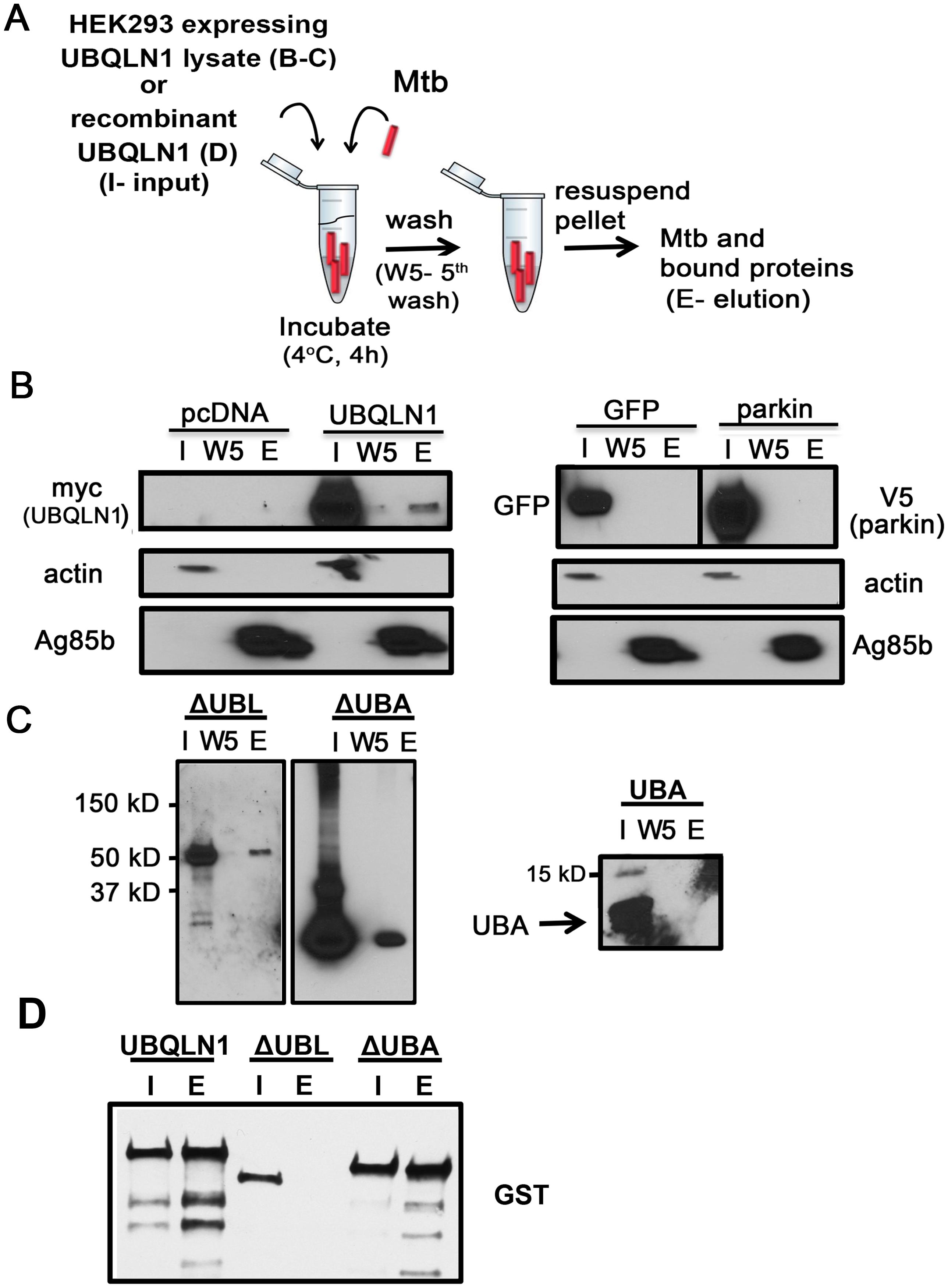 UBQLN1 binds Mtb <i>in vitro</i>.