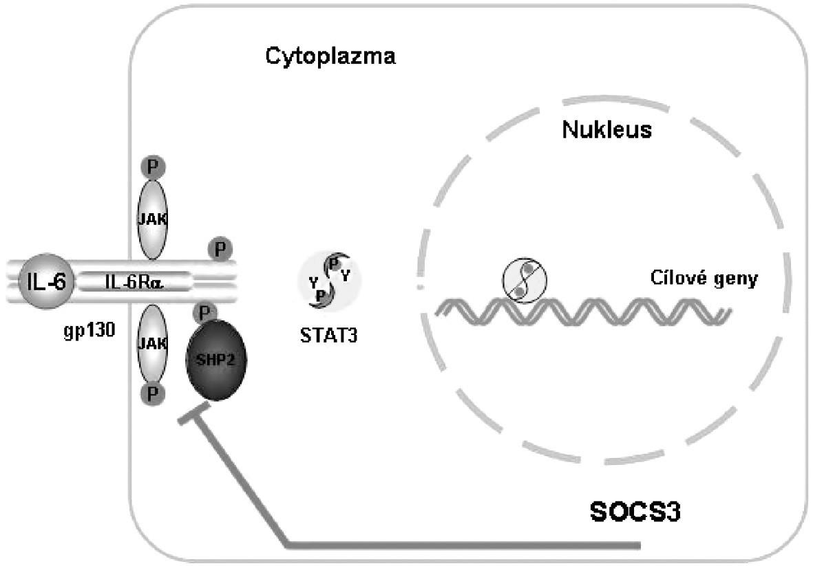 Vazba komplexu IL-6, IL-6R a gp130 aktivuje signalizační cestu JAK/STAT, která je inhibována zpětnou vazbou za účasti SOCS. JAK, Janus kináza; SHP2,SH2-domain-containing tyrosine phosphatase; STAT, signal transducer and activator of transcription; SOCS 3, supressor of cytokine signalling 3 Podle: 1 Heinrich PC et al. Biochem J 2003; 374:1–20 2 Heinrich PC et al. Biochem J 1998; 334: 297–314