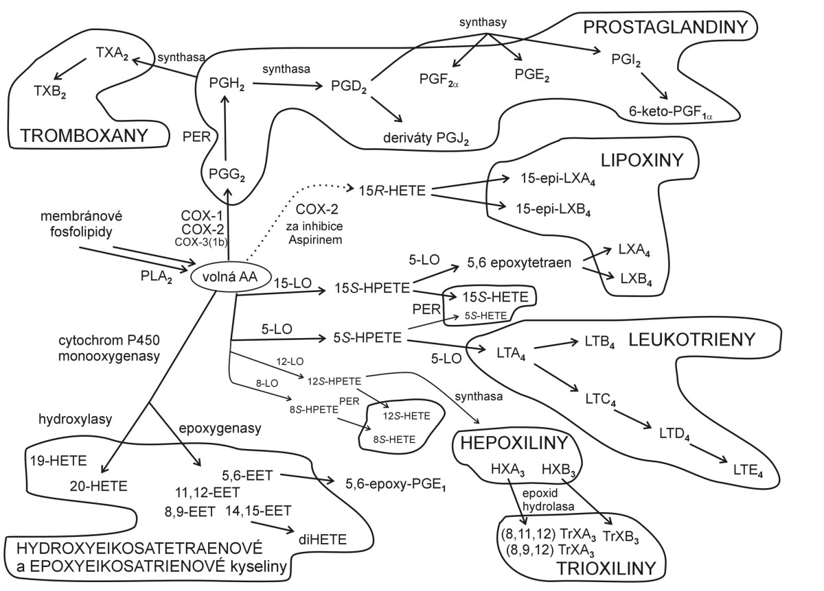 Metabolismus kyseliny arachidonové