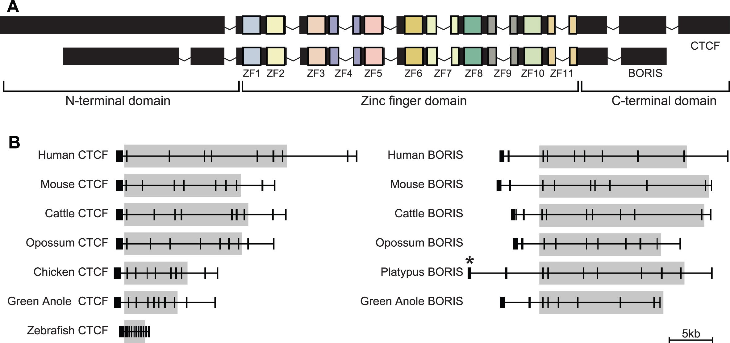 Gene structure of <i>CTCF</i> and <i>BORIS</i>.