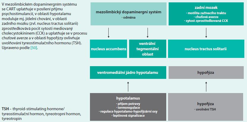 Schéma 6. Funkční zapojení systému CART (cocain-amphetamine regulated transcript)