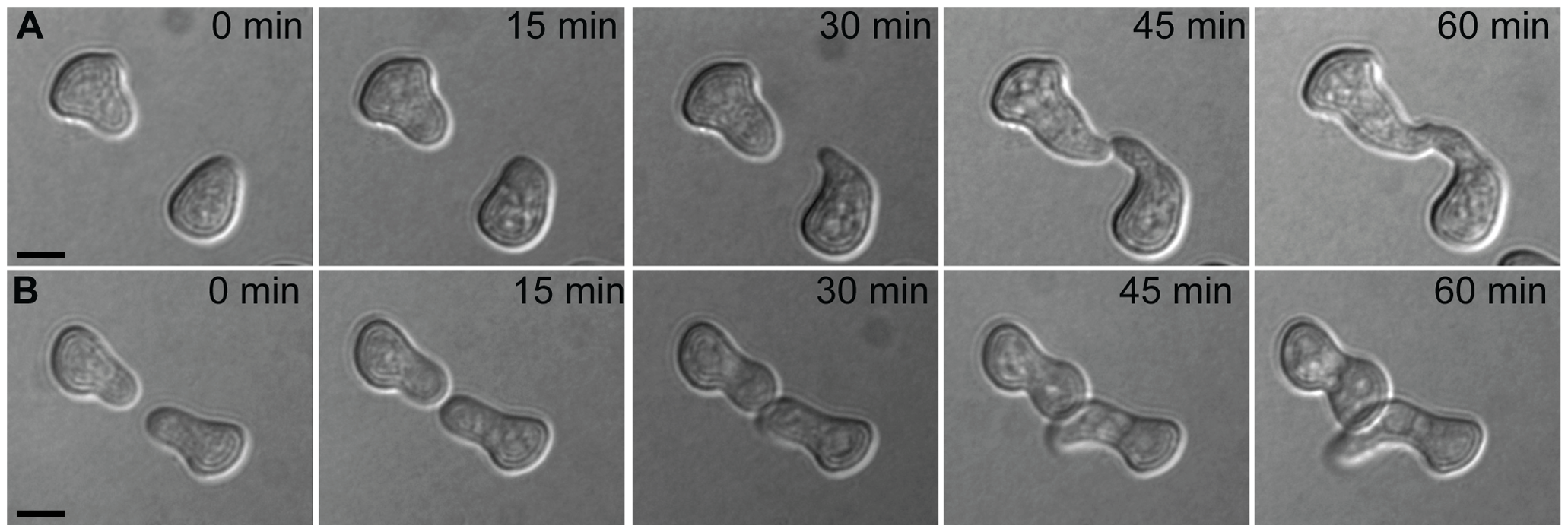 Chemotropic interactions and cell fusion between genetically identical conidial germlings.