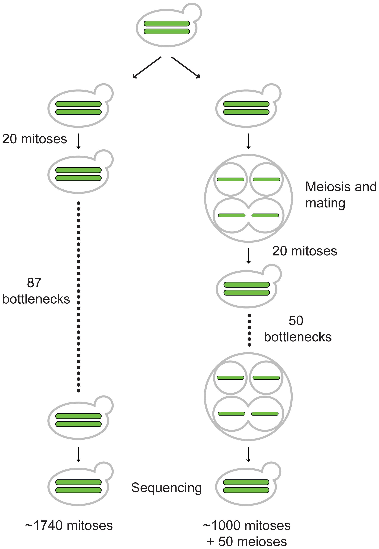 Outline of vegetative and meiotic bottlenecks.