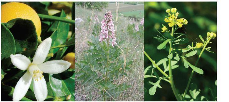Rutaceae (zleva: Citrus sinensis, Dictamnus albus, Ruta graveolens)