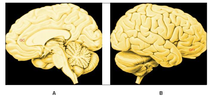 Stroopův test Legenda: A – Vnitřní plocha pravé hemisféry; B – Zevní plocha pravé hemisféry; GC – Přední část gyrus cinguli (opaskový závit); GFI – Gyrus frontalis inferior, dolní čelní závit; Obě korové oblasti aktivuje konfliktní situace: jestliže čteme slovo červený vytištěné modrou barvou, trvá poznání slova déle, než čteme-li slovo červený vytištěné červenou barvou (to je jedna z mnoha podob Stroopovu testu vytvořeného v r. 1935)